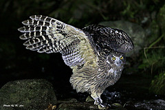 Owl in the Dark